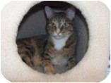 Domestic Shorthair Cat for Sale in El Cajon, California - Parmesan