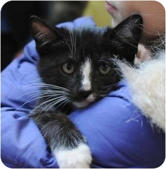 Domestic Shorthair Kitten for adoption in New York, New York - BooBoo
