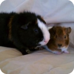 Guinea Pig for Sale in Costa Mesa, California - Teddy and Nugget