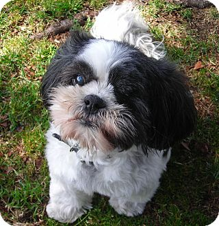 Shih Tzu Dog for Sale in El Cajon, California - Carly