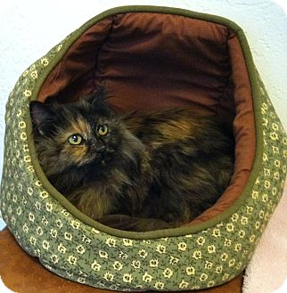 Domestic Longhair Cat for adoption in Murrysville, Pennsylvania - Iris
