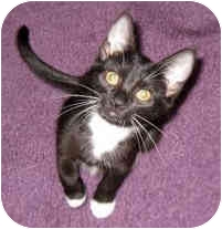 Domestic Shorthair Cat for Sale in Troy, Michigan - Taffy