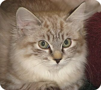 Ragdoll Kitten for Sale in Vacaville, California - Ayesha and Orenda