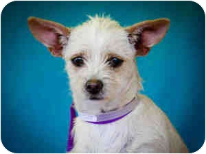 Terrier (Unknown Type, Medium) Mix Puppy for adption in Los Angeles, California - BeBe
