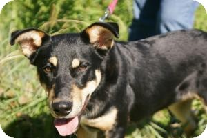 Shepherd (Unknown Type)/Rottweiler Mix Dog for adption in Conway, Arkansas - Smokey