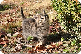 American Shorthair Kitten for Sale in Spring Valley, New York - Yogi