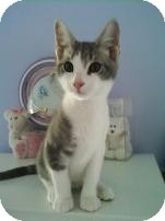 Domestic Shorthair Kitten for Sale in Albany, New York - Rudy