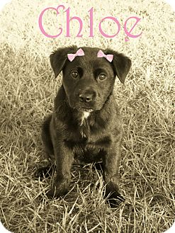 Labrador Retriever Mix Puppy for Sale in Oldsmar, Florida - Chloe
