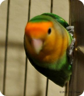 Lovebird for Sale in Shawnee Mission, Kansas - Topaz