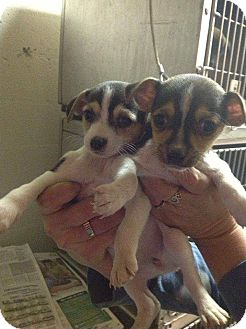 Chihuahua/Toy Fox Terrier Mix Puppy for Sale in Lancaster, Ohio - Rugrats