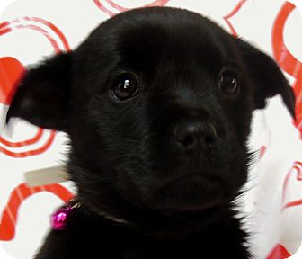 Labrador Retriever Mix Puppy for Sale in Thousand Oaks, California - Rosie