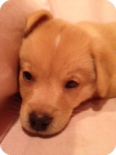 Golden Retriever Mix Puppy for Sale in White River Junction, Vermont - Harry Pup