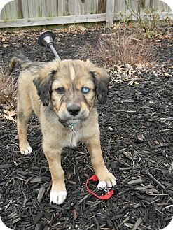 Australian Shepherd/Golden Retriever Mix Puppy for Sale in Marietta, Georgia - Blue