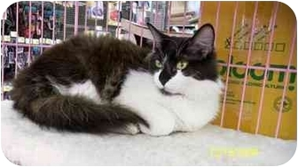 Domestic Longhair Cat for Sale in Sacramento, California - Mackenzie