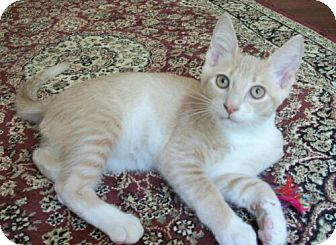 Domestic Shorthair Kitten for Sale in Sterling, Virginia - Connor