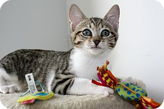 Domestic Shorthair Kitten for Sale in Vero Beach, Florida - Colby
