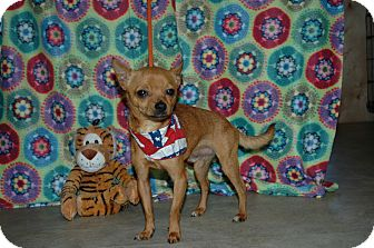 Chihuahua Dog for Sale in san antonio, Texas - Pedro
