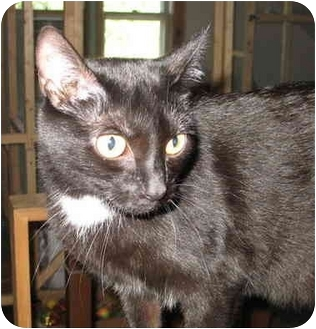 Domestic Shorthair Cat for adoption in Cincinnati, Ohio - Dasher