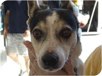 Rat Terrier Dog for adption in Fresno, California - Baby