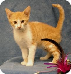 Domestic Shorthair Kitten for Sale in Sacramento, California - Sully