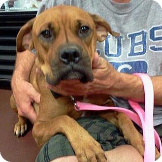 Boxer Mix Dog for Sale in Scottsdale, Arizona - Veronica