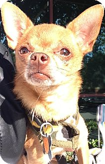 Chihuahua Mix Dog for Sale in San Diego, California - Yuri
