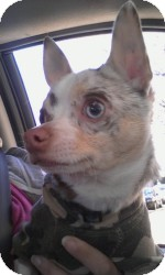Chihuahua Dog for Sale in Marlton, New Jersey - Dakota rare blue merle