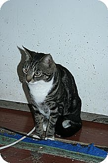 Domestic Shorthair Cat for adoption in SantaRosa, California - Jasper