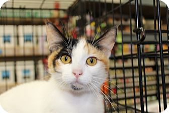 Calico Cat for Sale in santa monica, California - Trixie