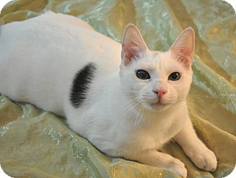 Domestic Shorthair Cat for adoption in Brooklyn, New York - Cosmo and Kismet!