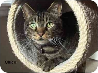 Domestic Shorthair Cat for adoption in Portland, Oregon - Chico
