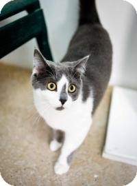 Domestic Shorthair Kitten for adoption in Belleville, Michigan - Tonya