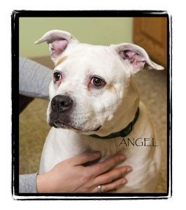 American Pit Bull Terrier Mix Dog for adption in Warren, Pennsylvania - Angel