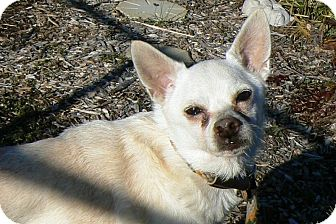 Chihuahua Dog for Sale in Ridgely, Maryland - Roscoe