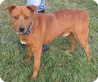 Retriever (Unknown Type)/Shepherd (Unknown Type) Mix Dog for Sale in Lisbon, Ohio - Owen