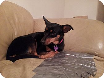 Miniature Pinscher Dog for Sale in West Bridgewater, Massachusetts - Rosie