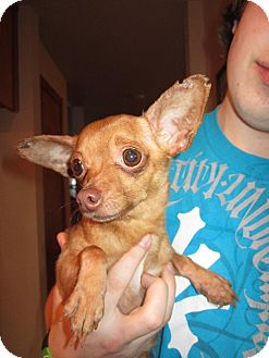 Chihuahua Mix Dog for Sale in Bellingham, Washington - Nutmeg