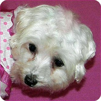 Maltese Dog for Sale in Burneyville, Oklahoma - BONNIE JEAN - ADOPTION PENDING