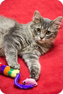 Domestic Mediumhair Cat for Sale in Chicago, Illinois - Kiwi