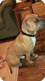 American Pit Bull Terrier Mix Dog for adption in Tulsa, Oklahoma - Bruce