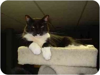 Domestic Shorthair Cat for adoption in Smithtown, New York - Mikey