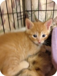 Domestic Shorthair Kitten for Sale in Fort Lauderdale, Florida - Andy