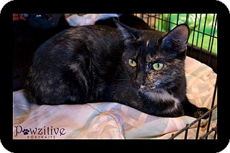Domestic Mediumhair Cat for Sale in Scottsdale, Arizona - Kit Kat- courtesy post