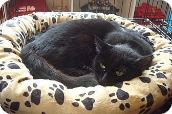 Domestic Shorthair Cat for adoption in Brooklyn, New York - Robyn