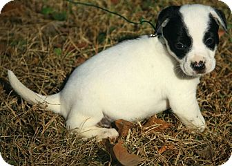 Boxer/Dalmatian Mix Puppy for Sale in Washington, D.C. - Annabell