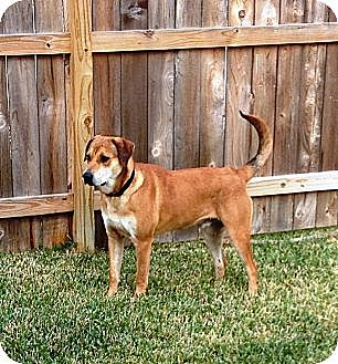 Labrador Retriever/Hound (Unknown Type) Mix Dog for adption in Missouri City, Texas - Maxx