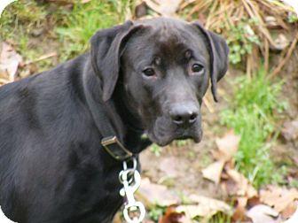 Bubba The Labrador Retriever Great Dane Hybrid Labradane At 2 | Dog ...
