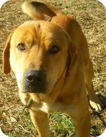 Golden Retriever/Labrador Retriever Mix Dog for Sale in Lincolnton, North Carolina - Boz