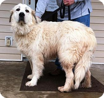Great Pyrenees Mix Dog for Sale in Danbury, Connecticut - Zeba PUREBRED