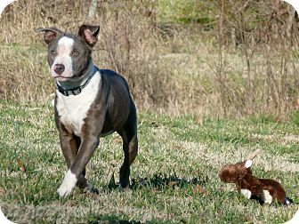 Bull Terrier/American Staffordshire Terrier Mix Puppy for Sale in Glastonbury, Connecticut - Pixie Pickles~meet me~
